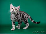 Кішки, кошенята Американська короткошерста, ціна 13500 Грн., Фото