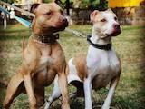 Собаки, щенята Американський стаффордширський тер'єр, ціна 4000 Грн., Фото