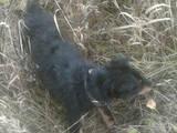 Собаки, щенки Ягдтерьер, цена 700 Грн., Фото