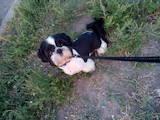 Собаки, щенята Ши-тцу, ціна 500 Грн., Фото
