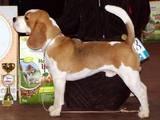Собаки, щенки Бигль, цена 9000 Грн., Фото