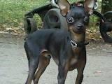 Собаки, щенки Русский гладкошерстный тойтерьер, цена 3500 Грн., Фото