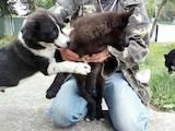 Собаки, щенята Російсько-Європейська лайка, ціна 200 Грн., Фото