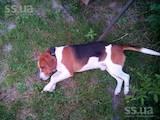 Собаки, щенята Естонський гончак, ціна 1200 Грн., Фото