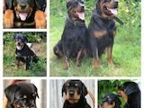 Собаки, щенята Ротвейлер, ціна 1000 Грн., Фото