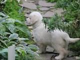 Собаки, щенки Золотистый ретривер, цена 15000 Грн., Фото