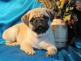 Собаки, щенята Мопс, ціна 9000 Грн., Фото