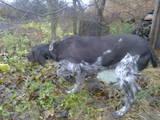Собаки, щенки Жесткошерстный фокстерьер, цена 20 Грн., Фото