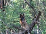 Собаки, щенки Немецкая овчарка, цена 3800 Грн., Фото