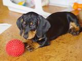Собаки, щенки Гладкошерстная такса, цена 2500 Грн., Фото