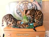 Кошки, котята Бенгальская, цена 26000 Грн., Фото