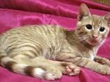 Кішки, кошенята Безпорідна, ціна 100 Грн., Фото