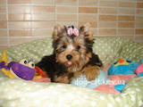 Собаки, щенки Йоркширский терьер, цена 15000 Грн., Фото
