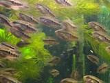 Рыбки, аквариумы Рыбки, цена 7 Грн., Фото