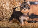 Собаки, щенки Йоркширский терьер, цена 18200 Грн., Фото