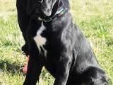 Собаки, щенки Кане Корсо, цена 7850 Грн., Фото