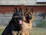 Собаки, щенята Німецька вівчарка, ціна 6000 Грн., Фото