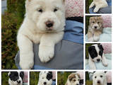 Собаки, щенки Среднеазиатская овчарка, цена 7500 Грн., Фото