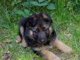 Собаки, щенки Немецкая овчарка, цена 1600 Грн., Фото