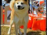 Собаки, щенята Акіта-іну, ціна 19000 Грн., Фото