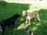 Собаки, щенята Лабрадор ретрівер, ціна 2500 Грн., Фото