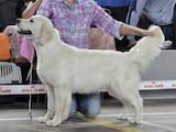 Собаки, щенята Золотистий ретрівер, ціна 15000 Грн., Фото