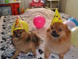 Собаки, щенки Померанский шпиц, цена 2500 Грн., Фото