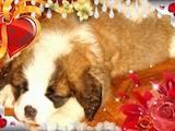 Собаки, щенки Сенбернар, цена 8000 Грн., Фото