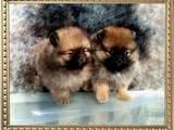 Собаки, щенки Померанский шпиц, цена 10000 Грн., Фото