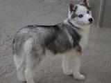 Собаки, щенята Сибірський хаськи, ціна 7000 Грн., Фото