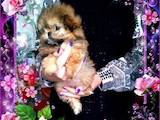Собаки, щенки Мальтийская болонка, цена 5000 Грн., Фото