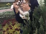 Собаки, щенята Бігль, ціна 3800 Грн., Фото