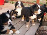 Собаки, щенята Гірський собака Берна, ціна 10000 Грн., Фото
