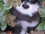 Собаки, щенки Померанский шпиц, цена 18500 Грн., Фото
