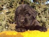 Собаки, щенята Ньюфаундленд, ціна 8000 Грн., Фото