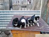 Собаки, щенята Російсько-Європейська лайка, ціна 1200 Грн., Фото