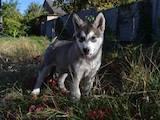 Собаки, щенки Аляскинский маламут, цена 4000 Грн., Фото