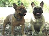Собаки, щенята Французький бульдог, ціна 13000 Грн., Фото