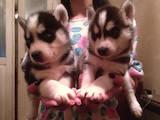 Собаки, щенята Сибірський хаськи, ціна 6 Грн., Фото