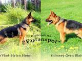 Собаки, щенки Немецкая овчарка, цена 3000 Грн., Фото