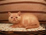 Кошки, котята Экзотическая короткошерстная, цена 4500 Грн., Фото