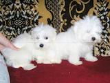 Собаки, щенята Мальтійська болонка, ціна 3500 Грн., Фото