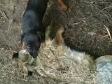 Собаки, щенки Ягдтерьер, цена 2300 Грн., Фото