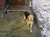 Собаки, щенята Російський хорт, ціна 800 Грн., Фото