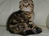 Кошки, котята Шотландская короткошерстная, цена 6000 Грн., Фото
