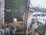 Собаки, щенята Західно-Сибірська лайка, ціна 1300 Грн., Фото