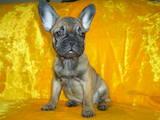 Собаки, щенята Французький бульдог, ціна 6000 Грн., Фото