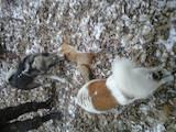 Собаки, щенки Западно-Сибирская лайка, цена 6000 Грн., Фото
