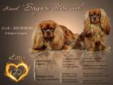 Собаки, щенки Кавалер-Кинг-Чарльз спаниель, цена 27000 Грн., Фото