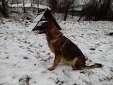 Собаки, щенята Німецька вівчарка, ціна 9000 Грн., Фото